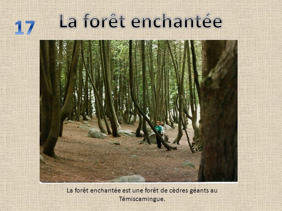 La forêt enchantée est une forêt de cèdres géants au Témiscamingue.