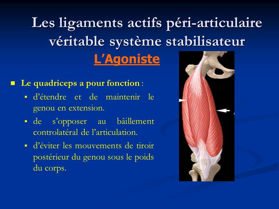 Les ligaments actifs péri-articulaire véritable système stabilisateur Le quadriceps a pour fonction : détendre et de maintenir le genou en extension.