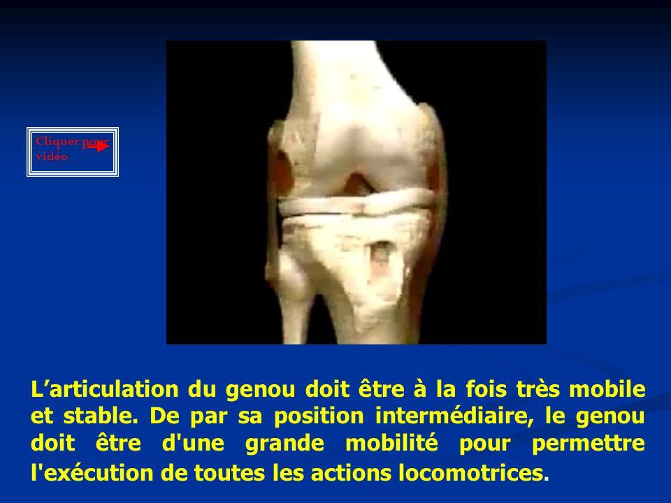 Larticulation du genou doit être à la fois très mobile et stable.