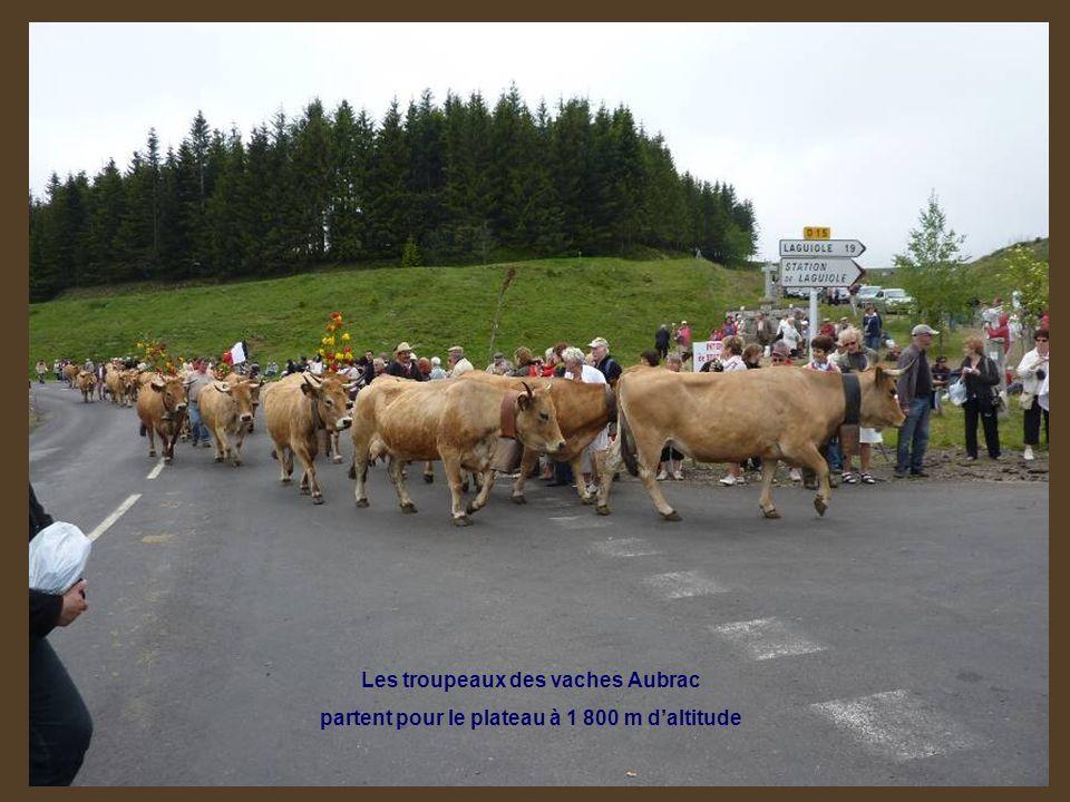 Les troupeaux des vaches Aubrac partent pour le plateau à 1 800 m daltitude