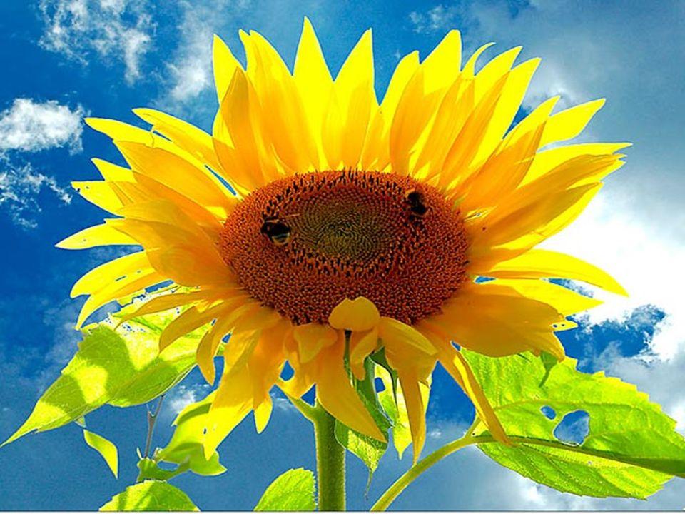 Le jaune est la couleur du bonheur, du soleil et des fleurs éclatantes.