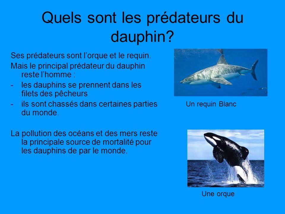 Quels sont les prédateurs du dauphin? Ses prédateurs sont lorque et le requin. Mais le principal prédateur du dauphin reste lhomme : -les dauphins se