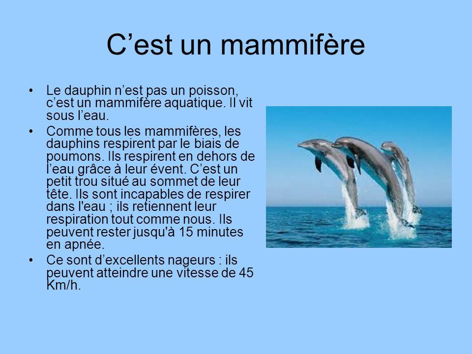 Cest un mammifère Le dauphin nest pas un poisson, cest un mammifère aquatique. Il vit sous leau. Comme tous les mammifères, les dauphins respirent par