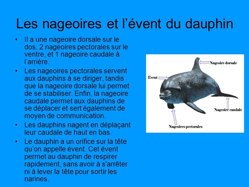 Les nageoires et lévent du dauphin Il a une nageoire dorsale sur le dos, 2 nageoires pectorales sur le ventre, et 1 nageoire caudale à larrière. Les n