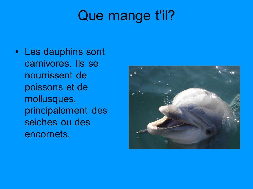 Que mange t'il? Les dauphins sont carnivores. Ils se nourrissent de poissons et de mollusques, principalement des seiches ou des encornets.