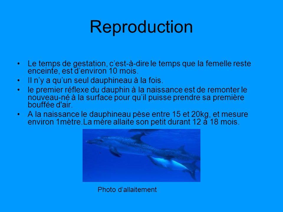 Reproduction Le temps de gestation, cest-à-dire le temps que la femelle reste enceinte, est denviron 10 mois. Il ny a quun seul dauphineau à la fois.