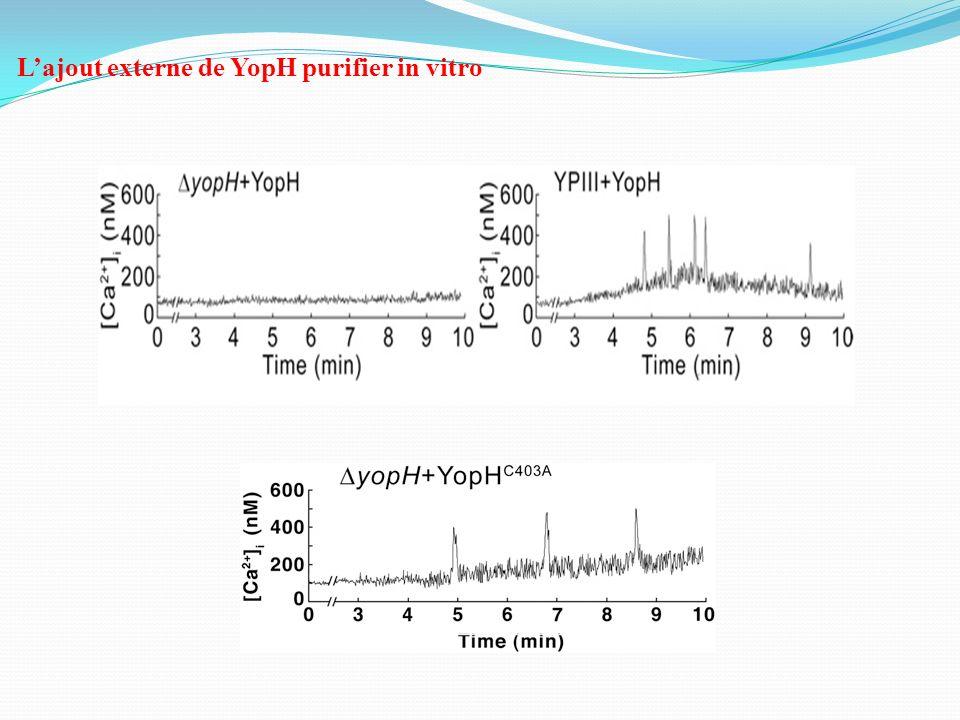 Lajout externe de YopH purifier in vitro