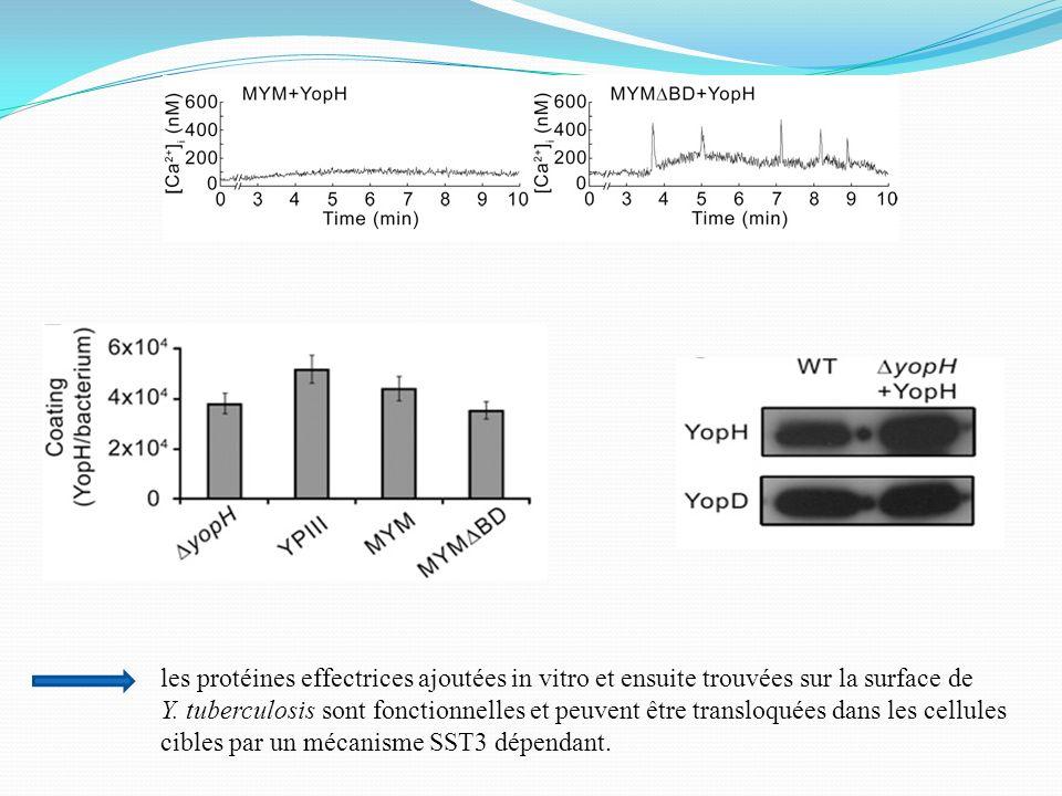 les protéines effectrices ajoutées in vitro et ensuite trouvées sur la surface de Y. tuberculosis sont fonctionnelles et peuvent être transloquées dan