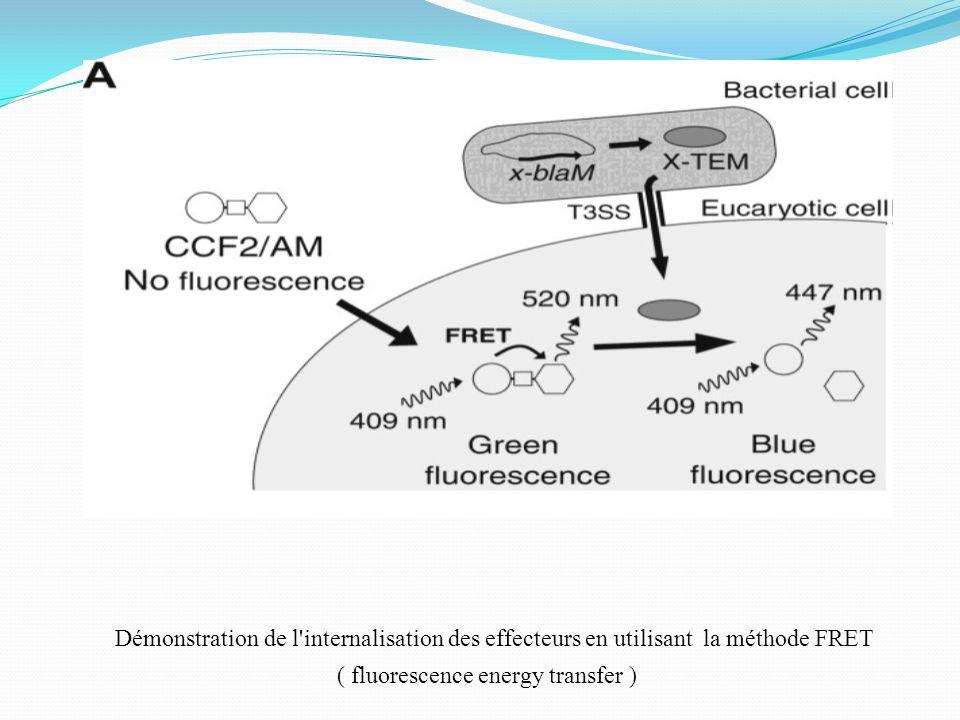 Démonstration de l'internalisation des effecteurs en utilisant la méthode FRET ( fluorescence energy transfer )