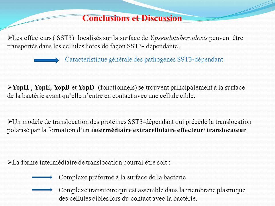 Conclusions et Discussion Les effecteurs ( SST3) localisés sur la surface de Y.pseudotuberculosis peuvent être transportés dans les cellules hotes de