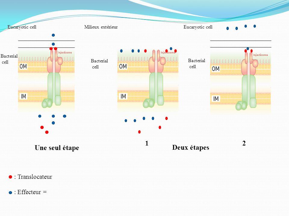 Eucaryotic cell Une seul étape Deux étapes 12 Milieux extérieur : Translocateur : Effecteur = Eucaryotic cell Bacterial cell Bacterial cell Bacterial