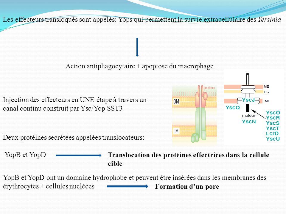 Les effecteurs transloqués sont appelés: Yops qui permettent la survie extracellulaire des Yersinia Action antiphagocytaire + apoptose du macrophage I