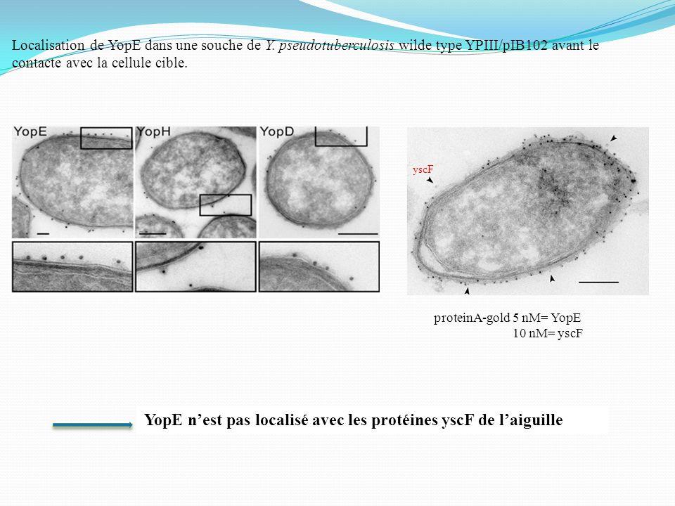 Localisation de YopE dans une souche de Y. pseudotuberculosis wilde type YPIII/pIB102 avant le contacte avec la cellule cible. YopE nest pas localisé