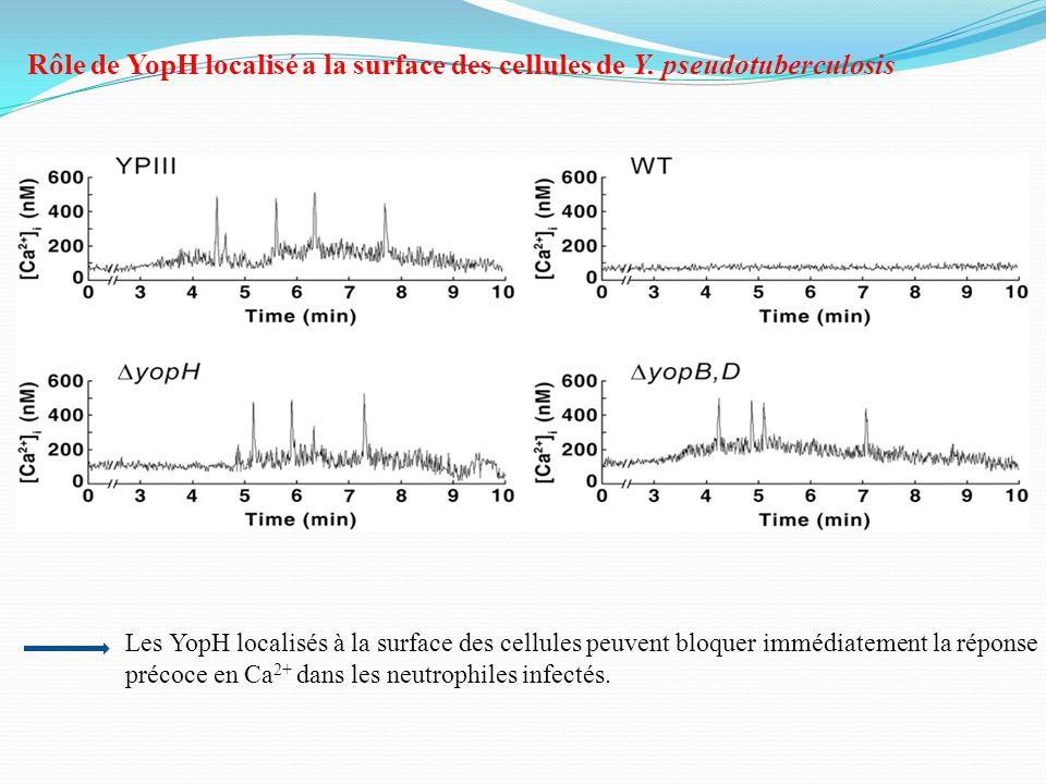 Rôle de YopH localisé a la surface des cellules de Y. pseudotuberculosis Les YopH localisés à la surface des cellules peuvent bloquer immédiatement la