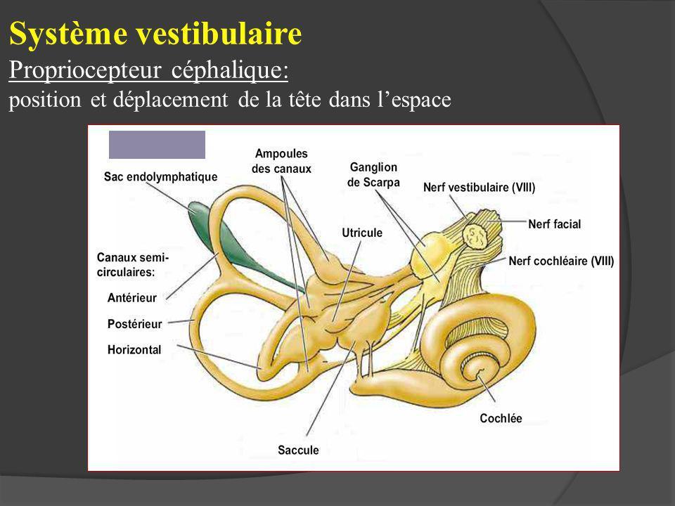 Système vestibulaire Propriocepteur céphalique: position et déplacement de la tête dans lespace