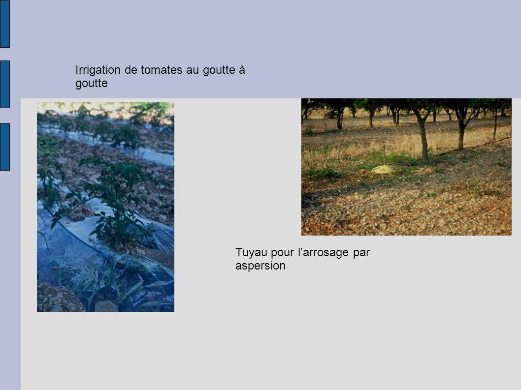 Irrigation de tomates au goutte à goutte Tuyau pour larrosage par aspersion
