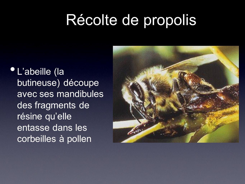 Récolte de propolis Labeille (la butineuse) découpe avec ses mandibules des fragments de résine quelle entasse dans les corbeilles à pollen
