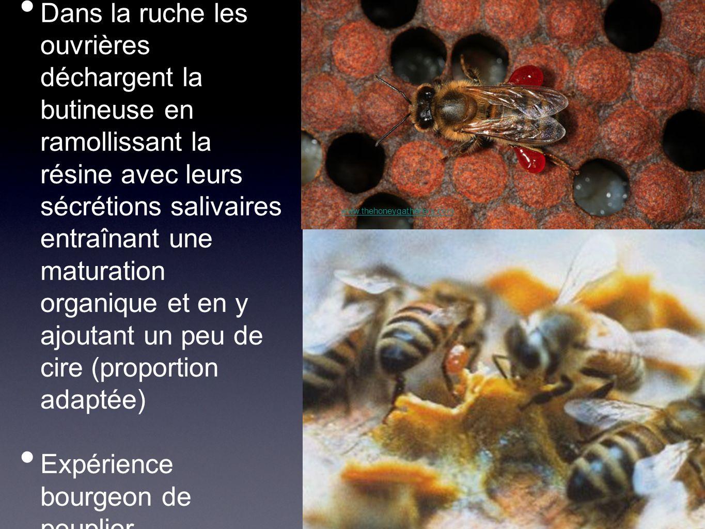 Dans la ruche les ouvrières déchargent la butineuse en ramollissant la résine avec leurs sécrétions salivaires entraînant une maturation organique et en y ajoutant un peu de cire (proportion adaptée) Expérience bourgeon de peuplier www.thehoneygatherers.com