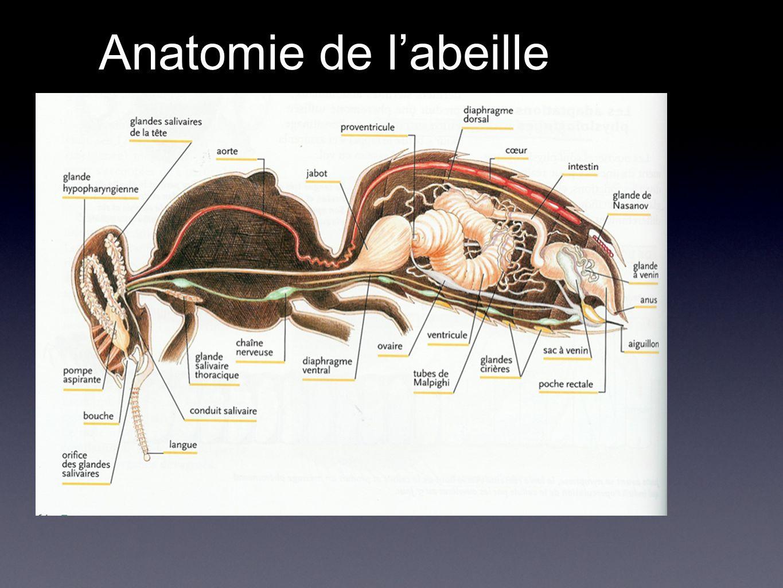 Anatomie de labeille