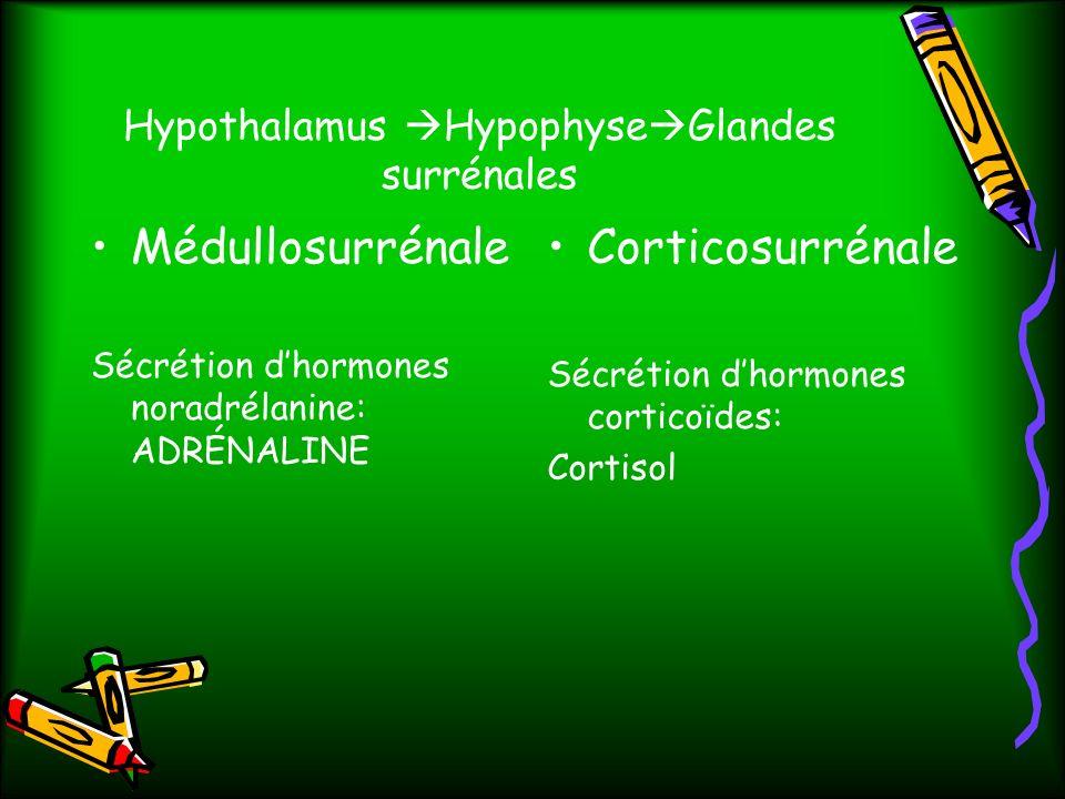 Hypothalamus Hypophyse Glandes surrénales Médullosurrénale Sécrétion dhormones noradrélanine: ADRÉNALINE Corticosurrénale Sécrétion dhormones corticoïdes: Cortisol