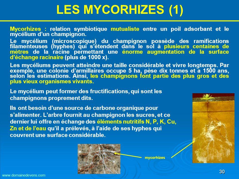 30 LES MYCORHIZES (1) Mycorhizes : relation symbiotique mutualiste entre un poil adsorbant et le mycélium dun champignon.