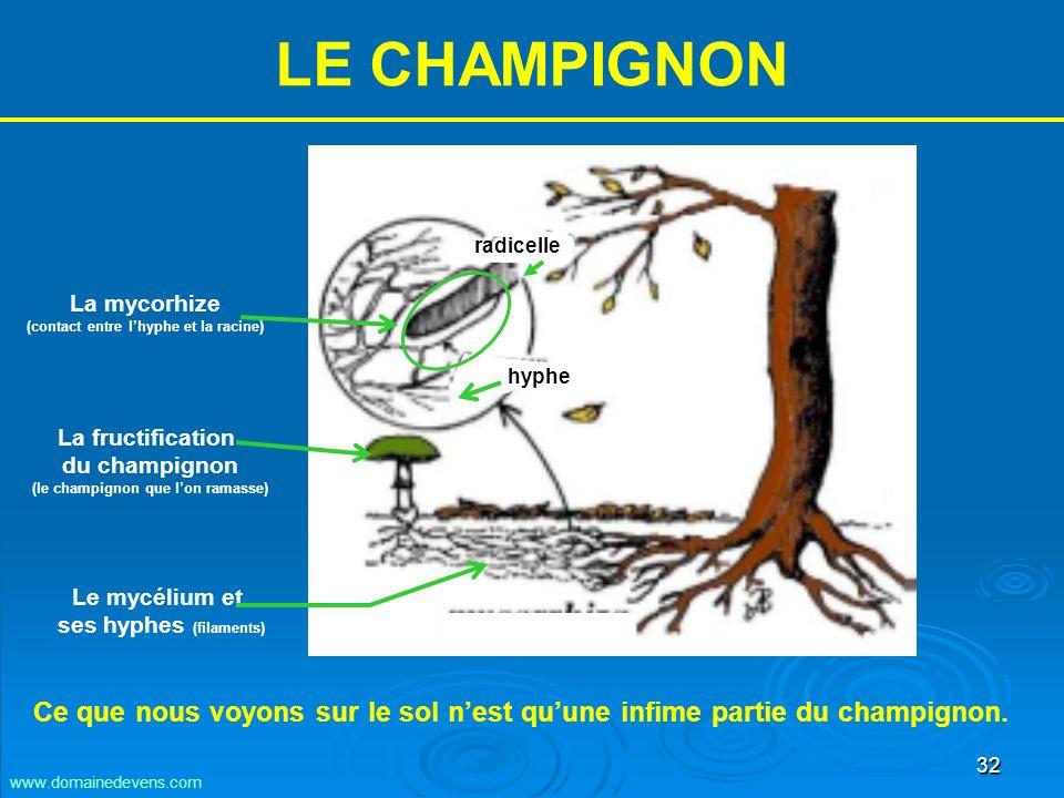 32 LE CHAMPIGNON Le mycélium et ses hyphes (filaments) La fructification du champignon (le champignon que lon ramasse) La mycorhize (contact entre lhyphe et la racine) radicelle hyphe Ce que nous voyons sur le sol nest quune infime partie du champignon.