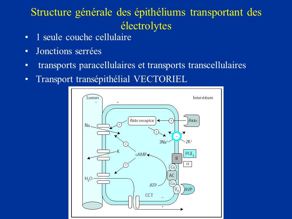 Structure générale des épithéliums transportant des électrolytes 1 seule couche cellulaire Jonctions serrées transports paracellulaires et transports