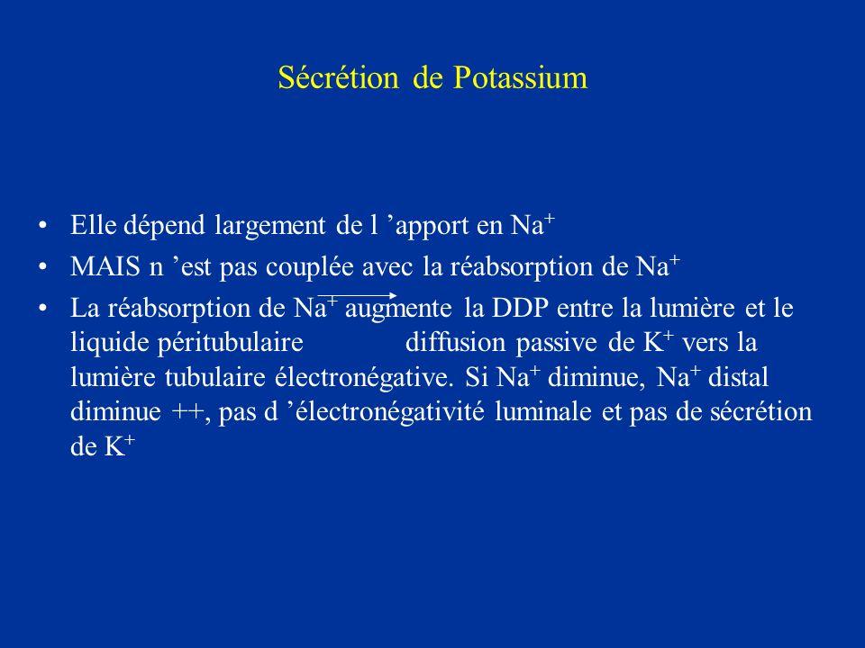 Sécrétion de Potassium Elle dépend largement de l apport en Na + MAIS n est pas couplée avec la réabsorption de Na + La réabsorption de Na + augmente