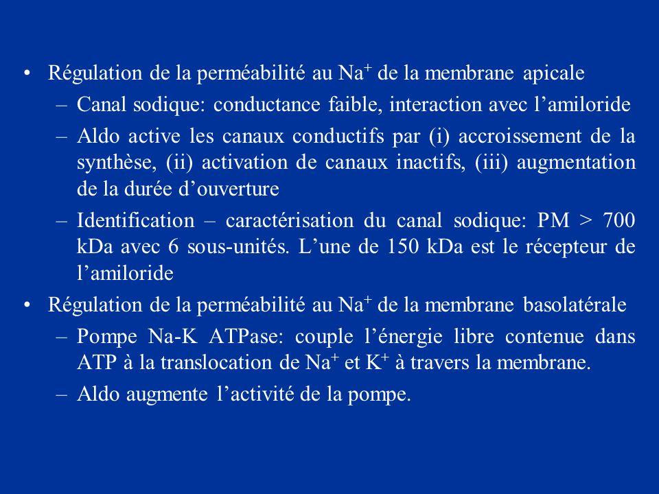 Régulation de la perméabilité au Na + de la membrane apicale –Canal sodique: conductance faible, interaction avec lamiloride –Aldo active les canaux c