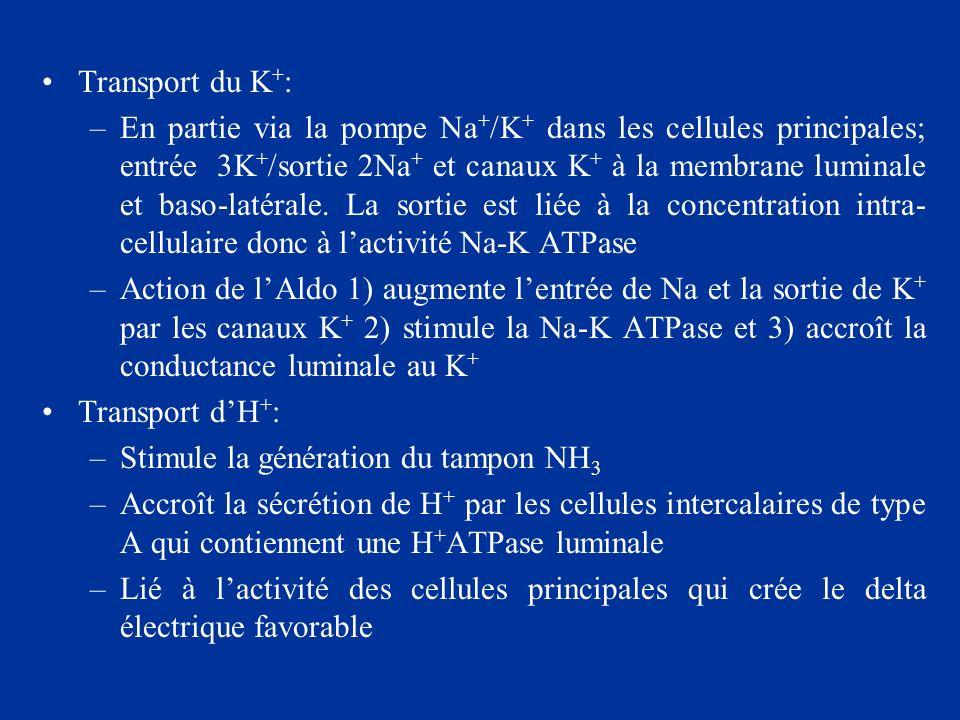 Transport du K + : –En partie via la pompe Na + /K + dans les cellules principales; entrée 3K + /sortie 2Na + et canaux K + à la membrane luminale et