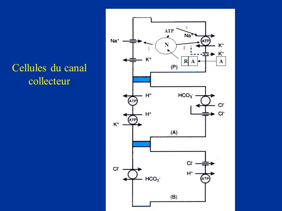 Cellules du canal collecteur A A ARA N ATP 1 2 3