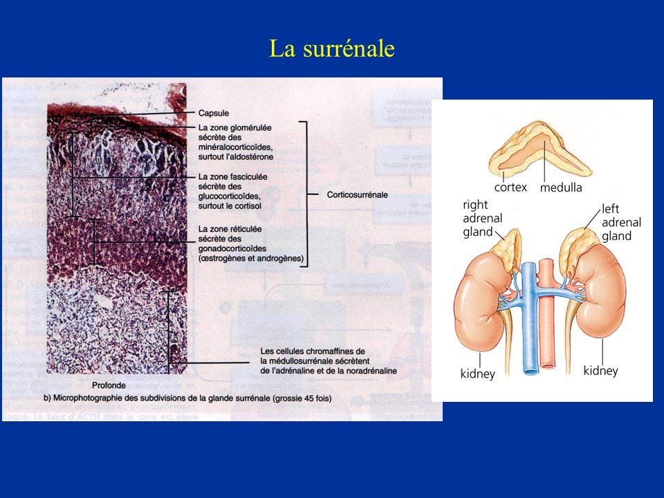 Régulation de la synthèse: K + Laugmentation de la concentration de potassium stimule la production daldostérone et inversement quand la kaliémie baisse il y a diminution de la production daldostérone Delta 0.1 mEq/l modifie le taux de sécrétion indépendamment du contenu en Na et de lAII; Importance chez lhomme anéphrique Comme avec lAII, lexposition prolongée au K + a un effet trophique sur la glomérulée et entraîne une sensibilité accrue au K +.