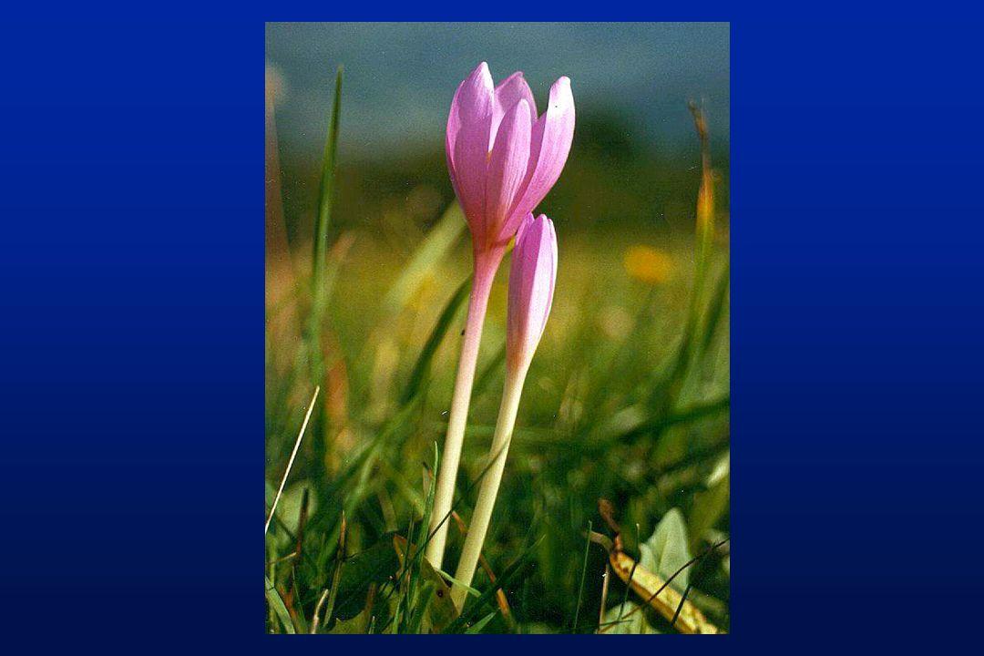 Production de la galanthamine Extraction à partir des bulbes de jonquilles (Narcissus sp.) Extraction acide/base & recristallisation 1kg de galanthamine est produit à partir de 5000 kg de bulbes Une voie synthétique existe