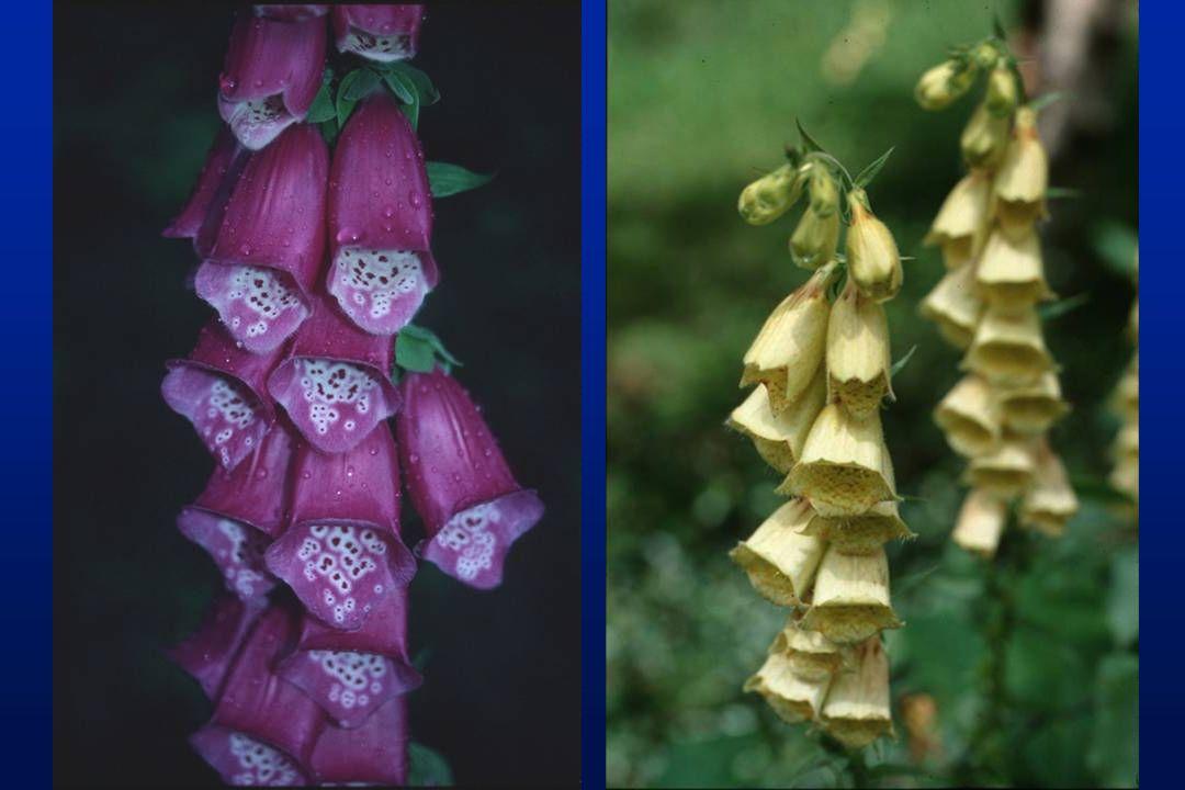 Galanthus nivalis (Amaryllidaceae) galanthamine