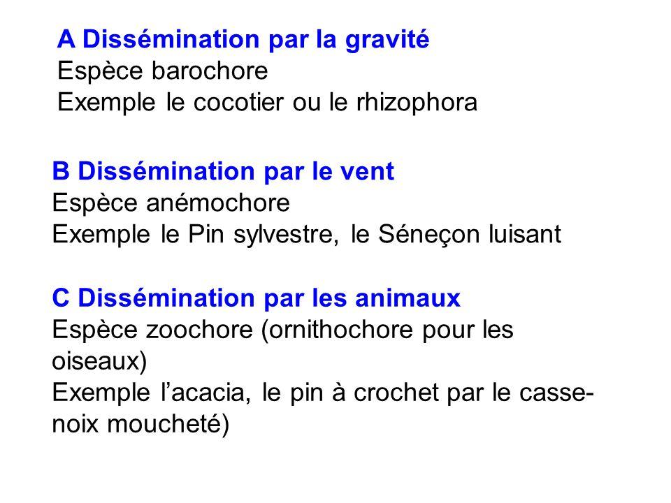 A Dissémination par la gravité Espèce barochore Exemple le cocotier ou le rhizophora B Dissémination par le vent Espèce anémochore Exemple le Pin sylv