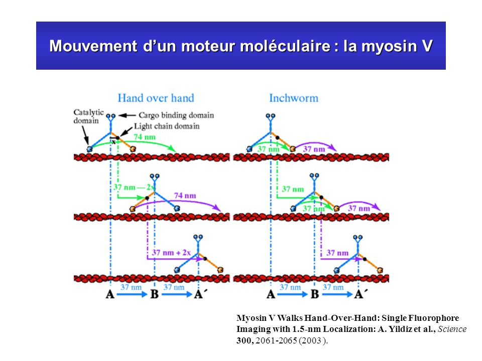Mouvement dun moteur moléculaire : la myosin V Myosin V Walks Hand-Over-Hand: Single Fluorophore Imaging with 1.5-nm Localization: A. Yildiz et al., S
