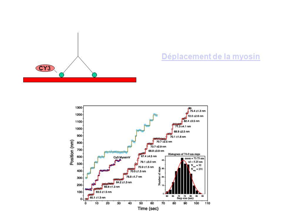 CY3 Déplacement de la myosin