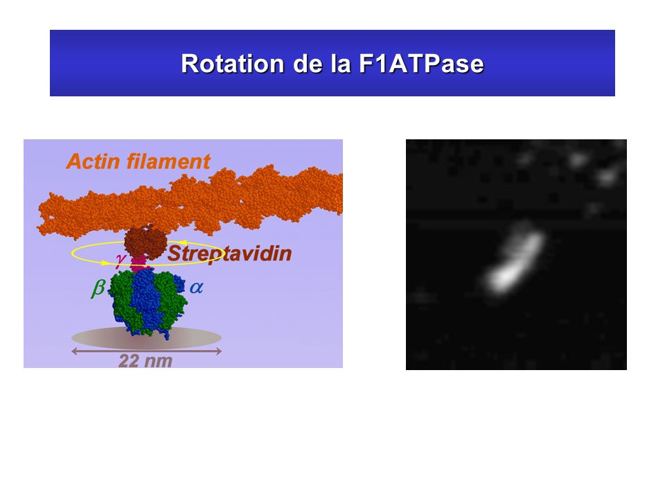 Rotation de la F1ATPase