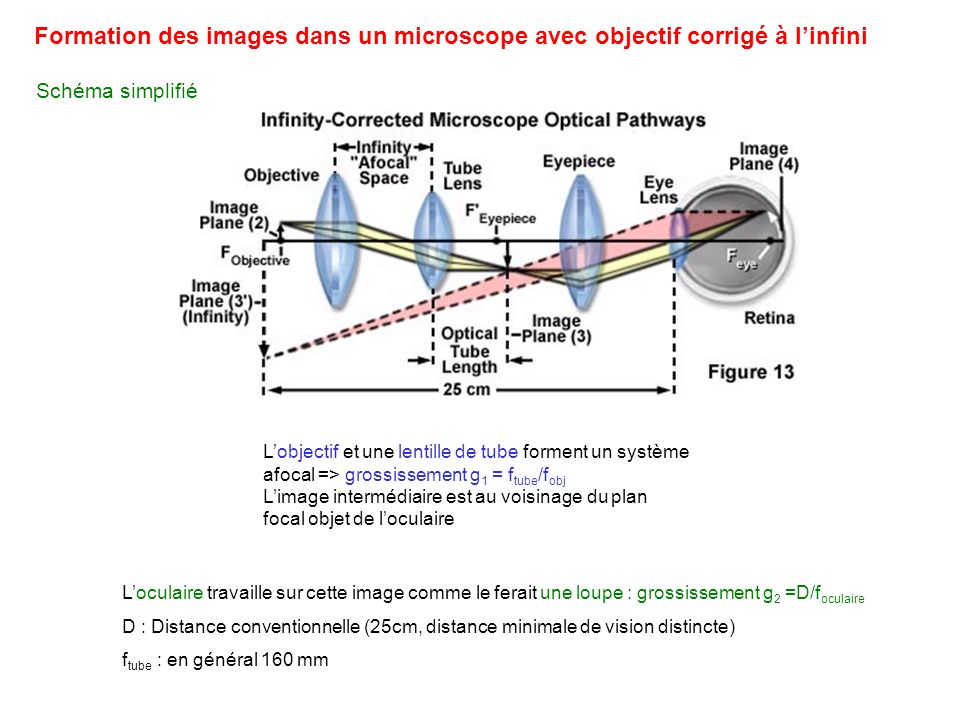 Exemple Epifluorescence Section confocale