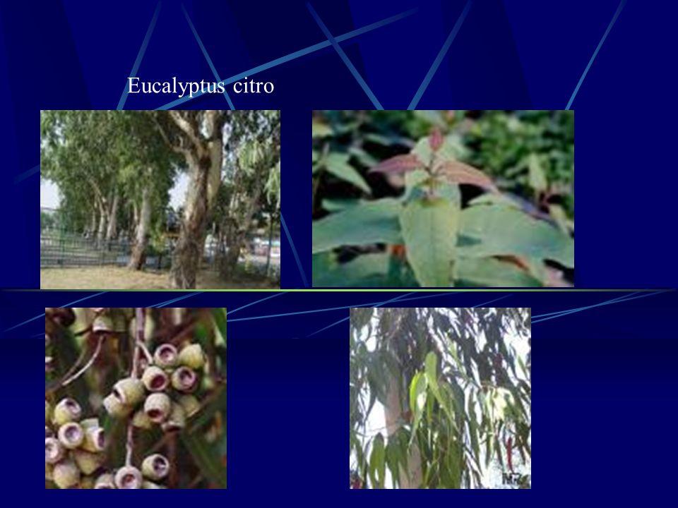 Eucalyptus citro