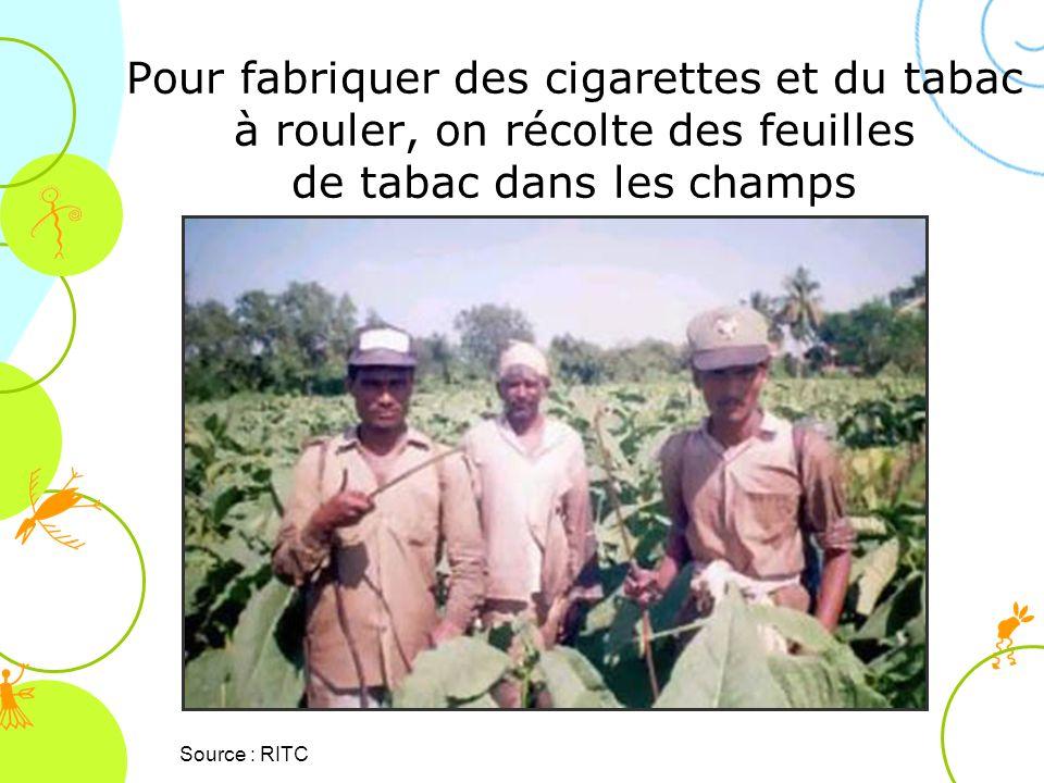 Source : RITC Pour fabriquer des cigarettes et du tabac à rouler, on récolte des feuilles de tabac dans les champs