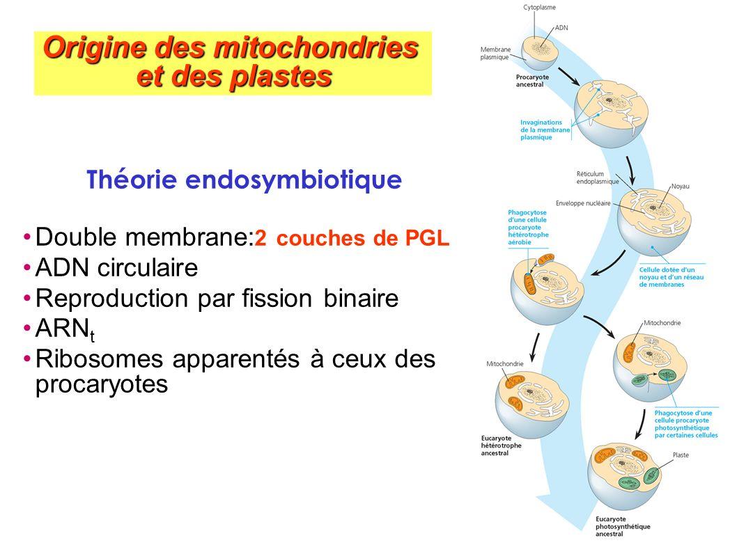 Théorie endosymbiotique Double membrane: 2 couches de PGL ADN circulaire Reproduction par fission binaire ARN t Ribosomes apparentés à ceux des procar