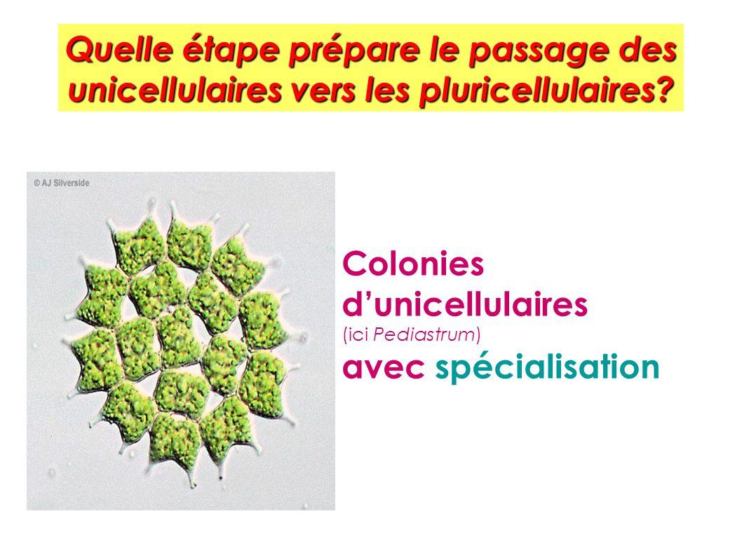 Quelle étape prépare le passage des unicellulaires vers les pluricellulaires? Colonies dunicellulaires (ici Pediastrum) avec spécialisation