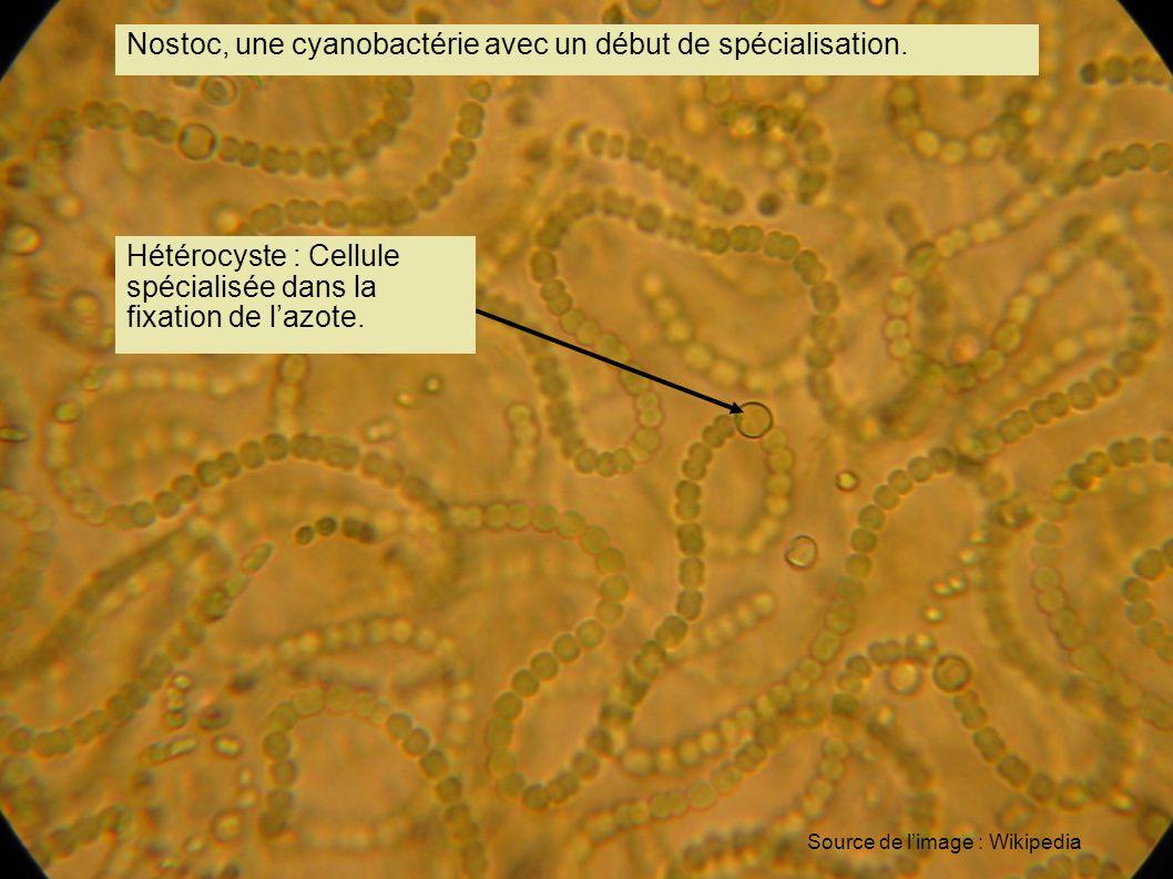 Nostoc, une cyanobactérie avec un début de spécialisation. Hétérocyste : Cellule spécialisée dans la fixation de lazote. Source de limage : Wikipedia