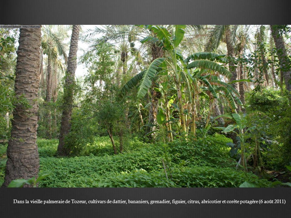 Que deau, que deau… piscine du café Nifer, dans la palmeraie ancienne de Tozeur (10 août 2011)