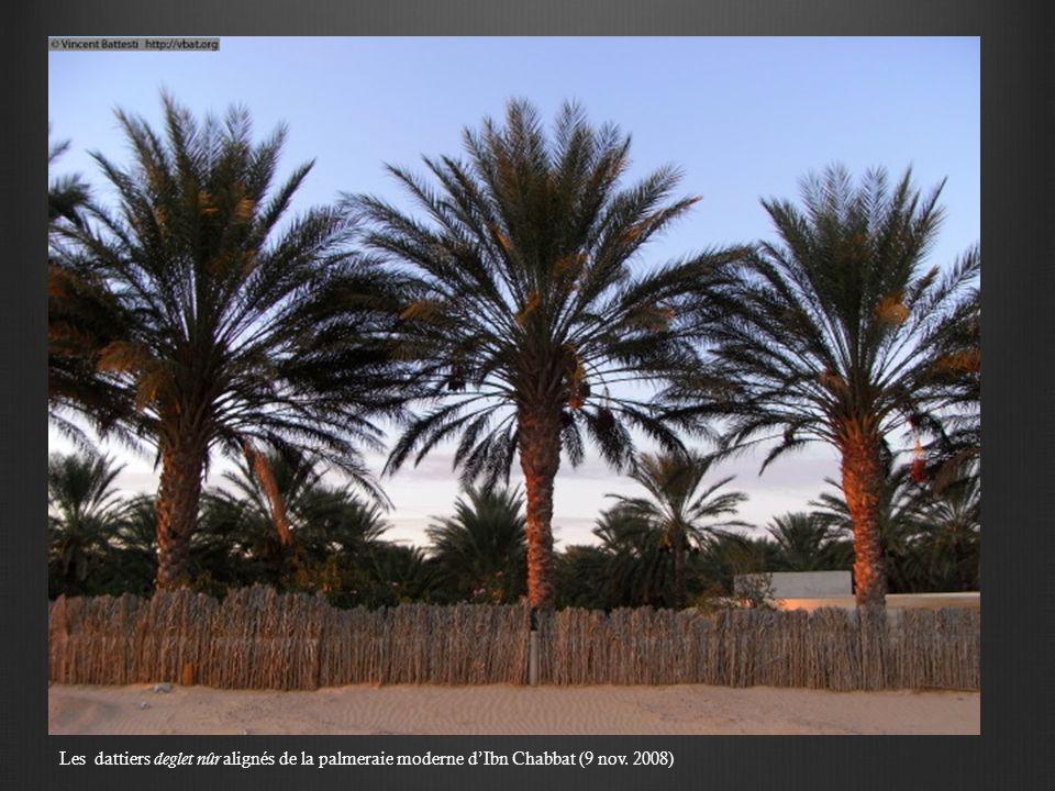 Les dattiers deglet nûr alignés de la palmeraie moderne dIbn Chabbat (9 nov. 2008)