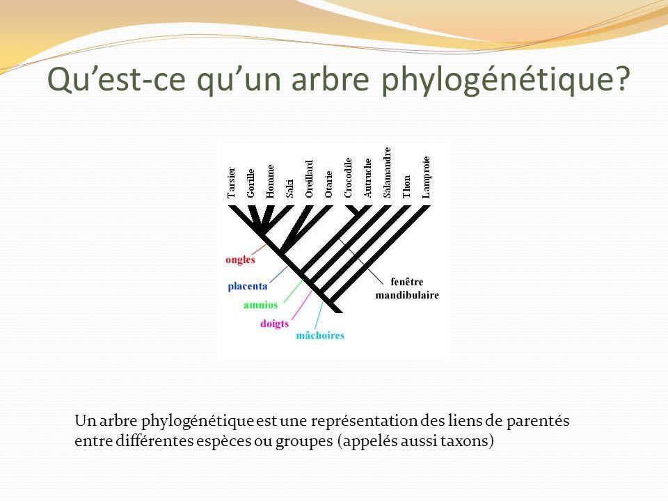Un arbre phylogénétique est une représentation des liens de parentés entre différentes espèces ou groupes (appelés aussi taxons) Quest-ce quun arbre phylogénétique?