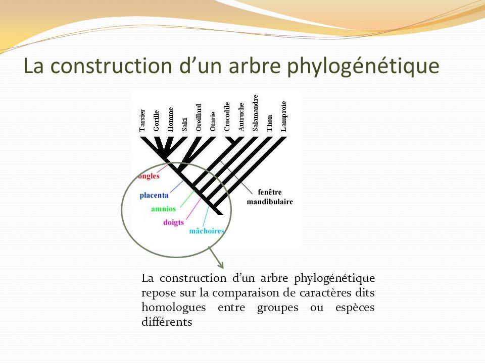 La construction dun arbre phylogénétique La construction dun arbre phylogénétique repose sur la comparaison de caractères dits homologues entre groupes ou espèces différents