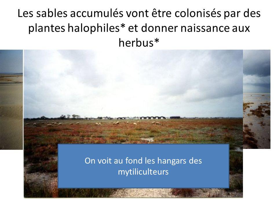 Les sables accumulés vont être colonisés par des plantes halophiles* et donner naissance aux herbus* On voit au fond les hangars des mytiliculteurs