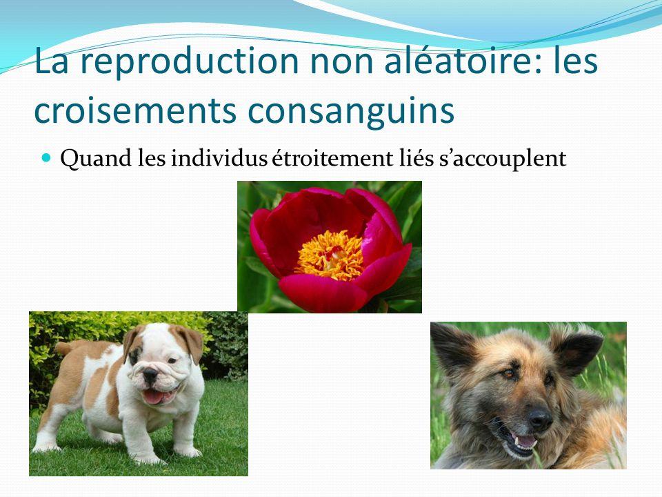 La reproduction non aléatoire: les croisements consanguins Quand les individus étroitement liés saccouplent